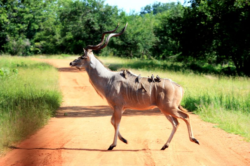 birds-on-gazelle