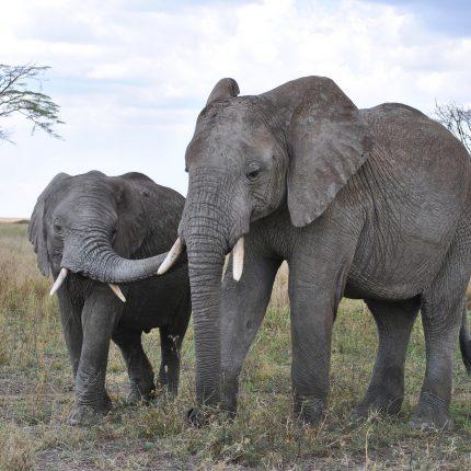 elephantrs-430×430
